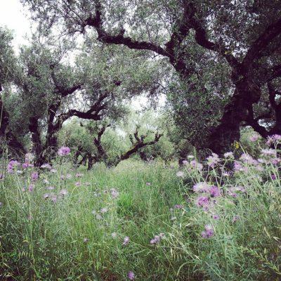 Zakynthos: 2 miljoen olijfbomen op 1 eiland