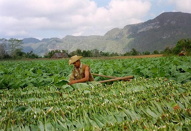 tabaksplantage-cuba