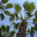 Lloret de Mar palmbomen