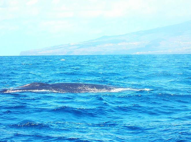 Walvis-Terceira-Azoren