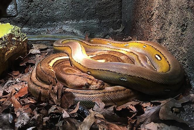 slangen-Avonturia