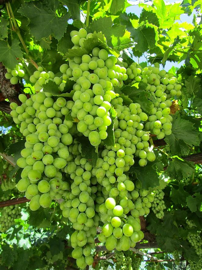 wijngaard-kos