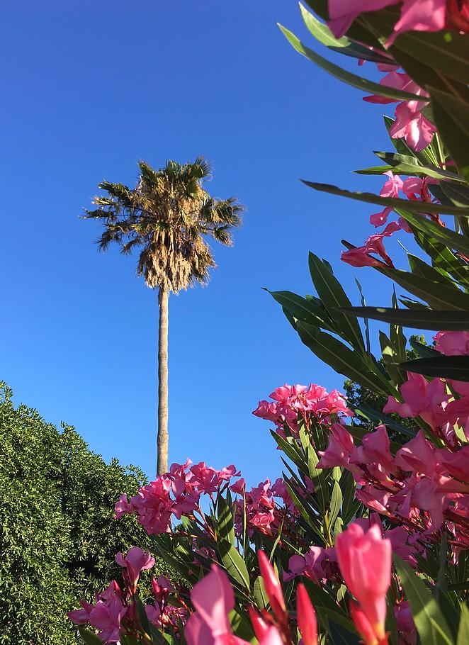 palmboom-kos