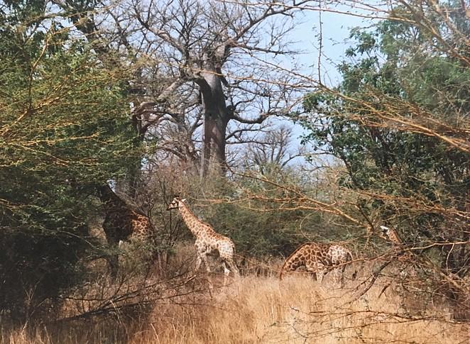 giraffen-afrika