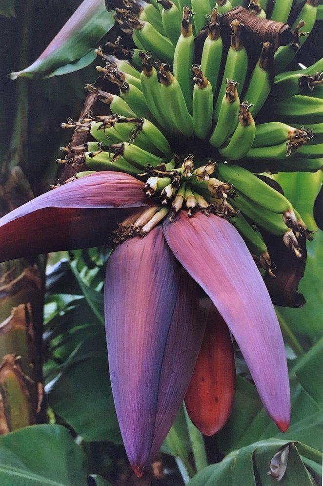 bananen-madeira