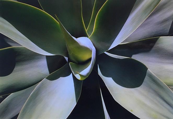 cactus-plant-madeira