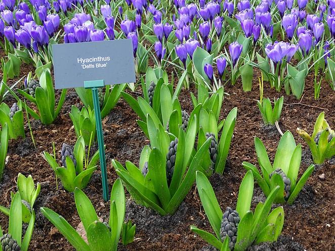 hyacinth-keukenhof