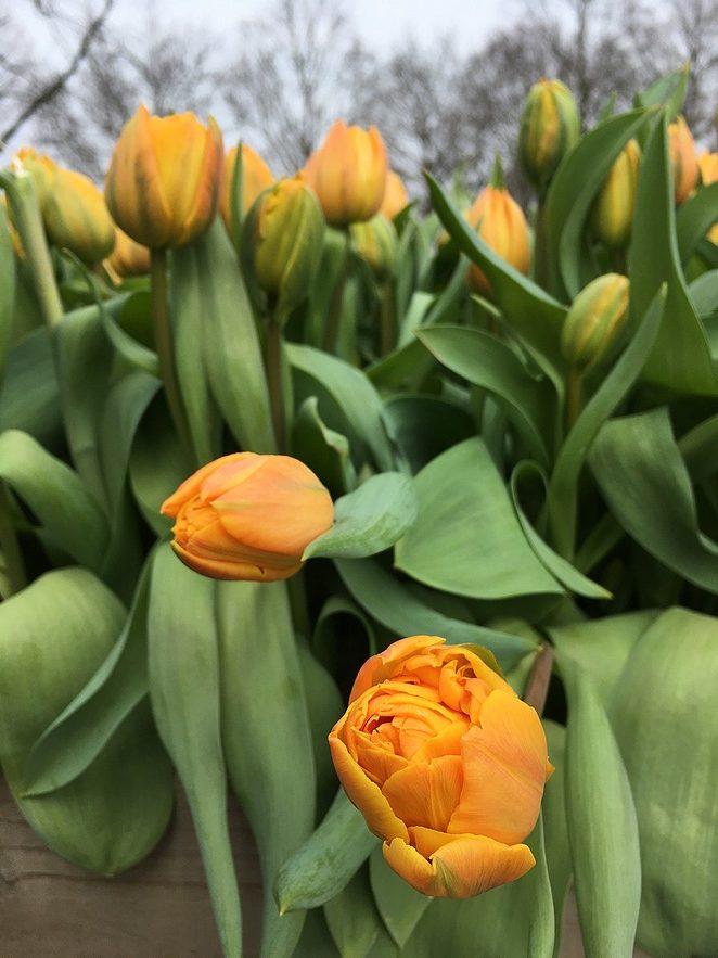keukenhof-gele-tulpen