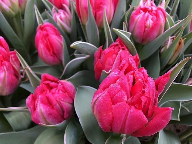 keukenhof-roze-tulp