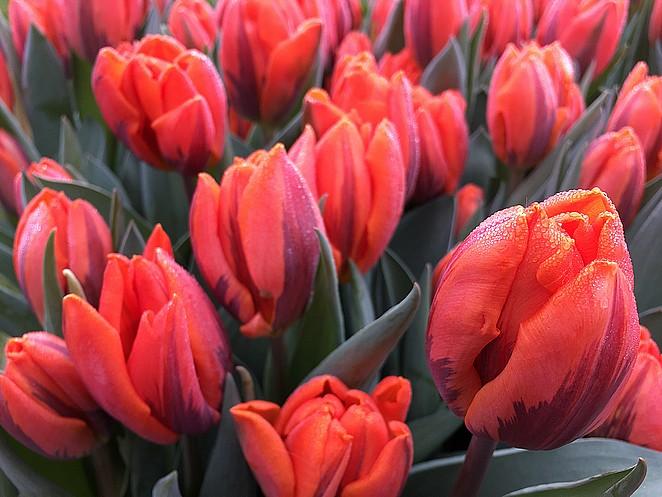 mooie-tulpen