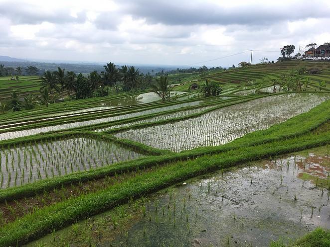 hoe-groeit-rijst