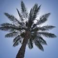 foto-palmboom