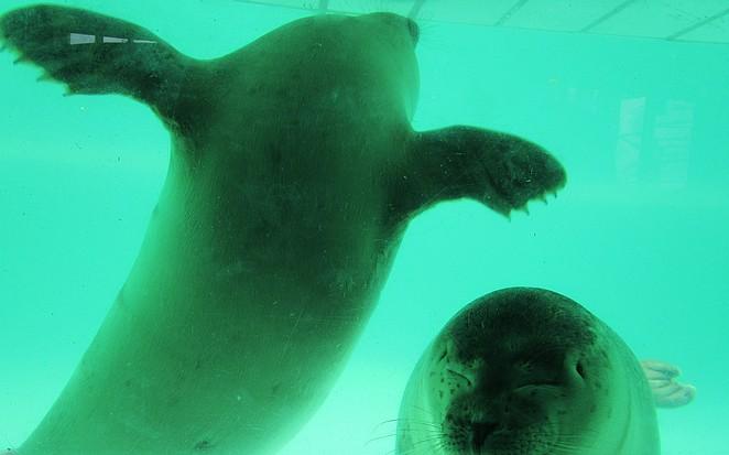 Zeehonden onder water