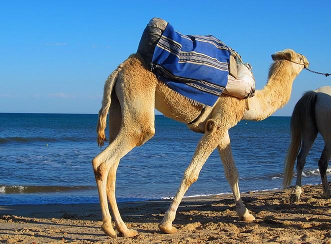 Dromedaris op strand Hammamet