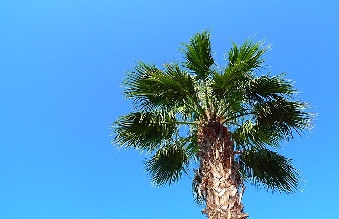 Turkse palmboom