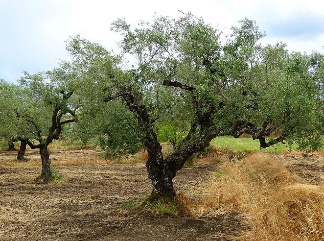 olijfboom-zakynthos