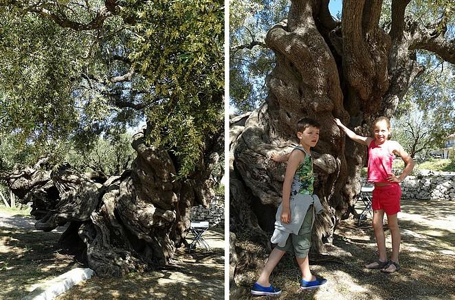 oudste-olijfboom