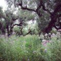 zakynthos-olijfboom