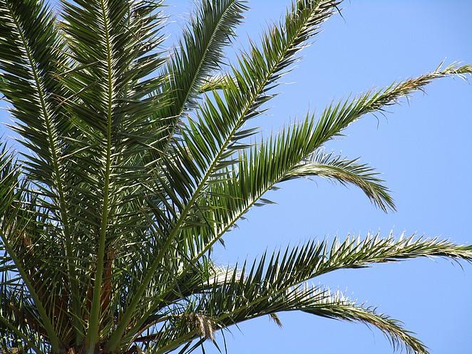 palmboom-costa-brava