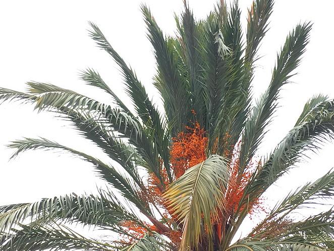 Dadelpalm-Alicante-Santa-Cruz