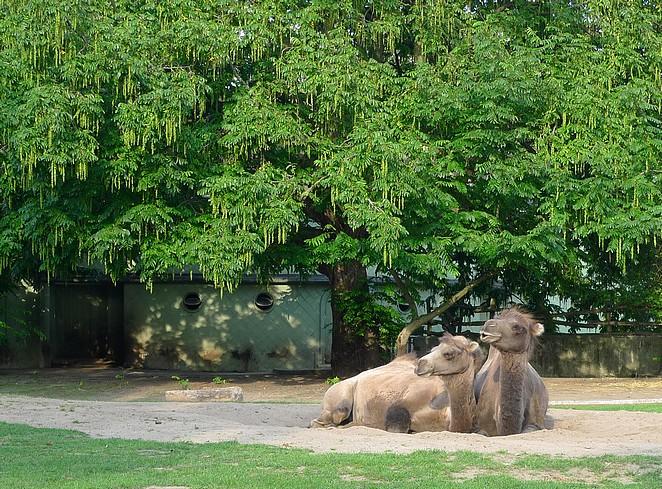 Kamelen Blijdorp