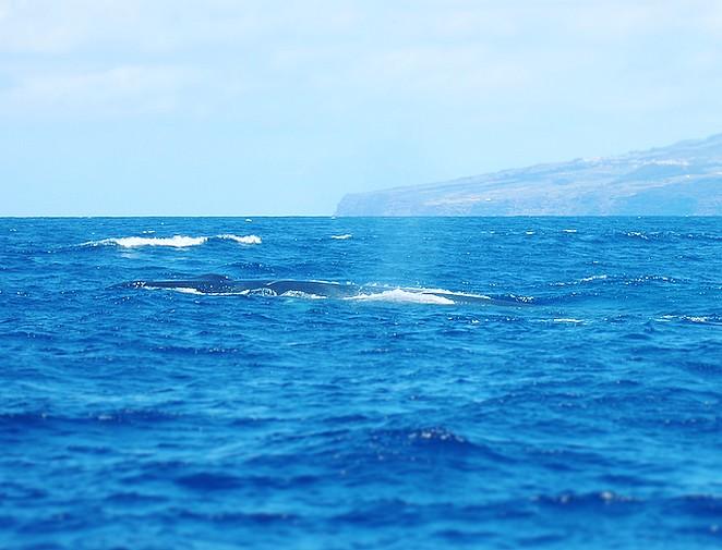 Lange-rug-walvis