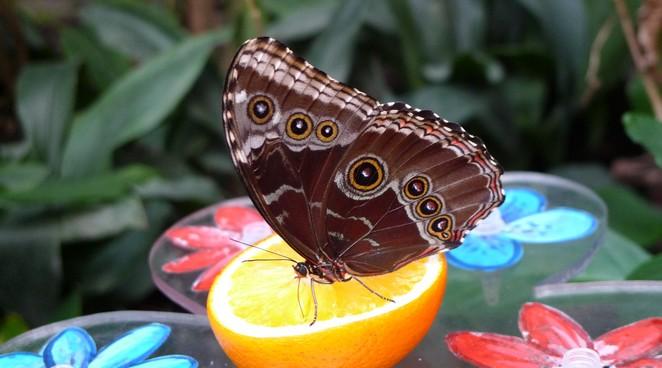 Vlinder-Blijdorp