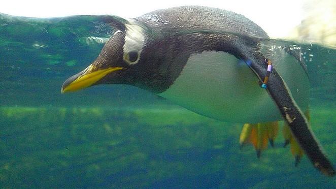 Zwemmende-pinguin