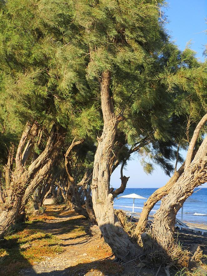 strand-met-bomen-santorini