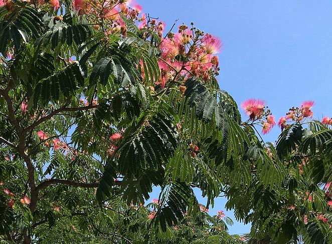 zijdeboom