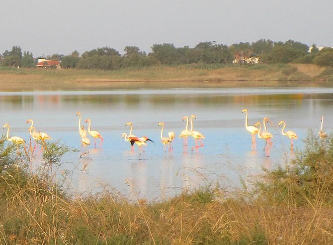 flamingo's-kos