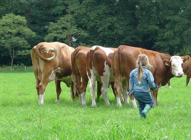 koeien-natuur-vakantie
