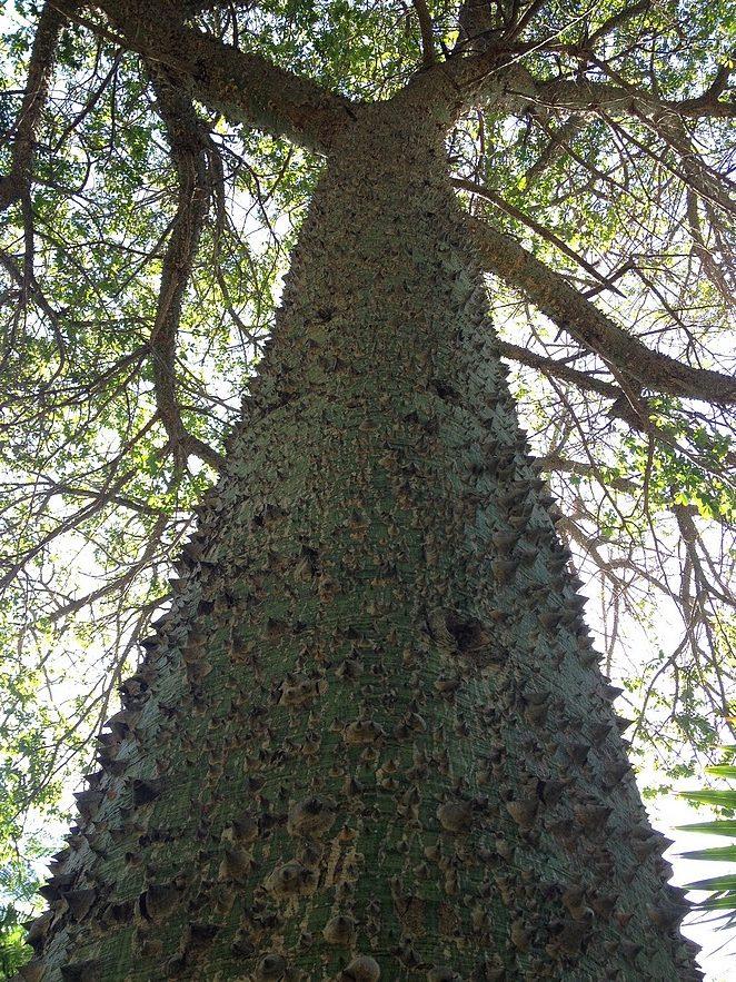 bijzondere-boom-gran-canaria