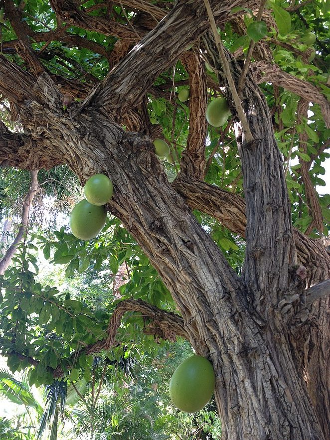 bijzondere-vrucht-gran-canaria