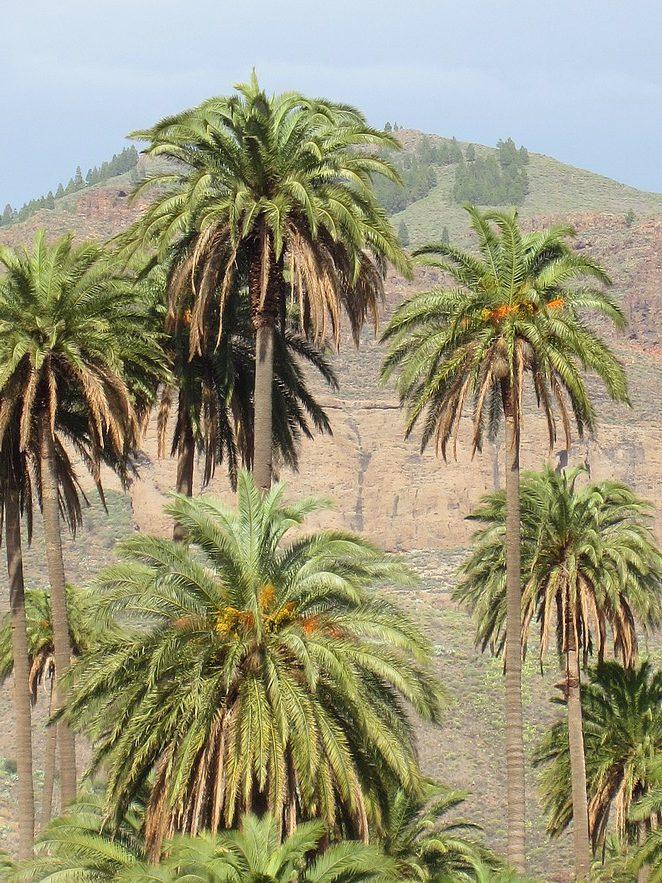 palmbomen-gran-canaria