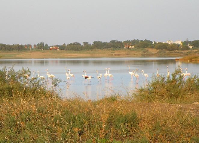 flamingos-kos