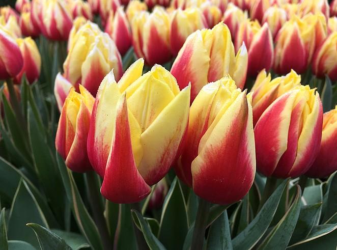 keukenhof-tulpen
