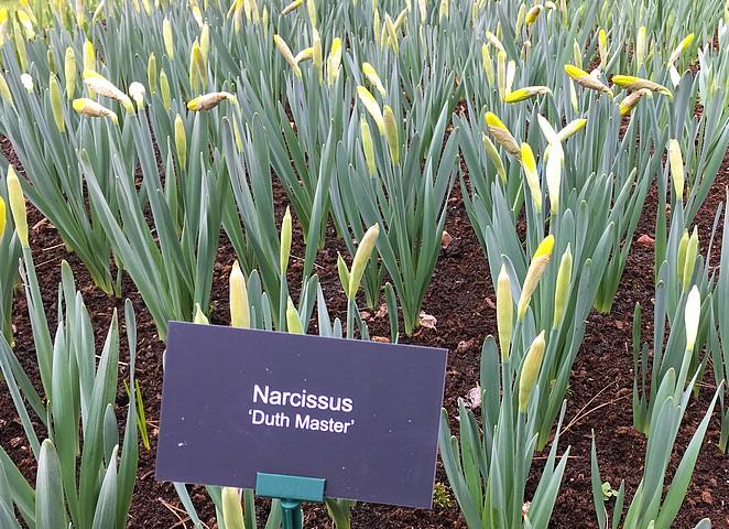 narcissen-keukenhof