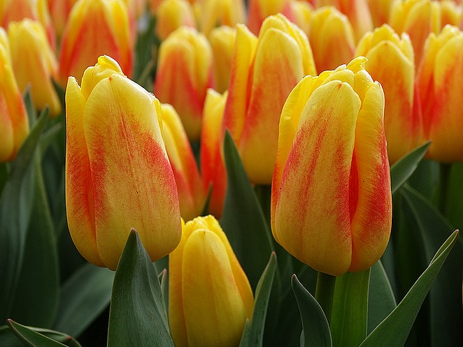 tulpen-holland
