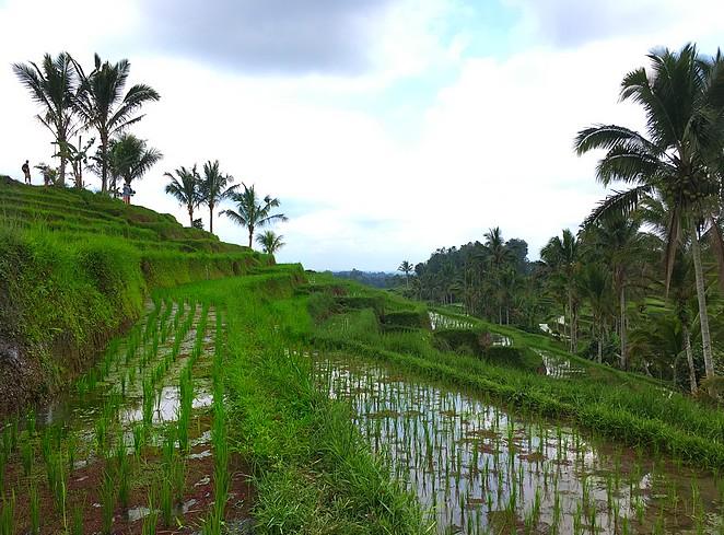 jatiluwih-rice-paddies