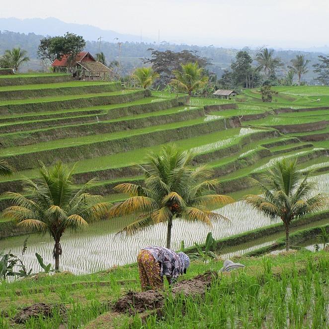 jatiluwih-rijstvelden