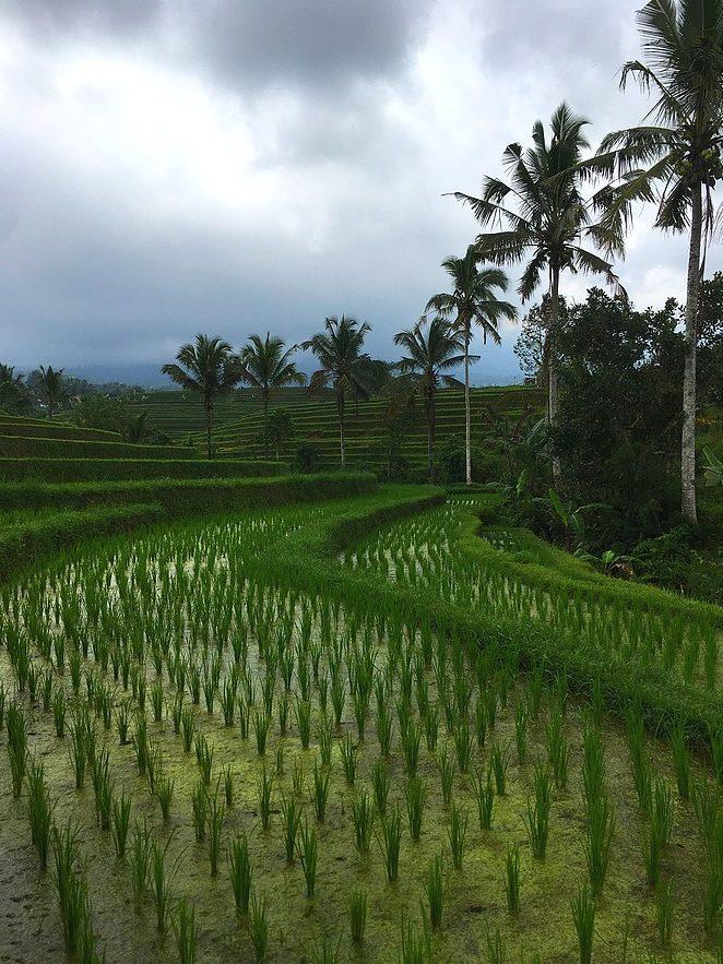 mooie-rijstvelden-jatiluwih