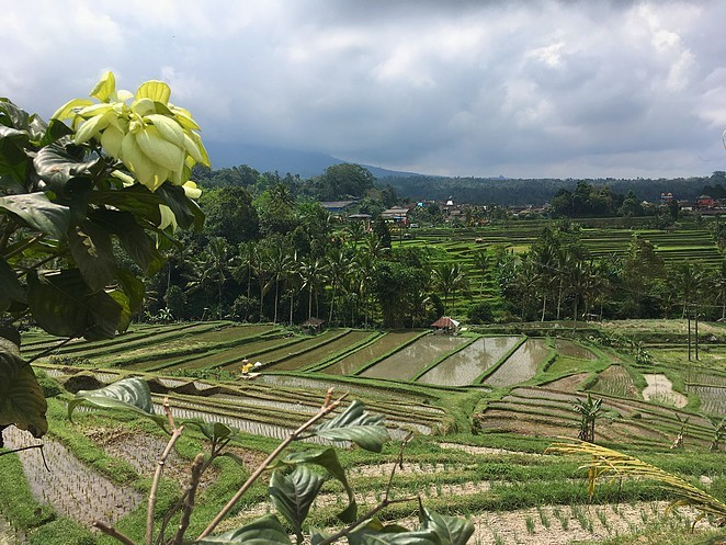 rijstbouw-bali
