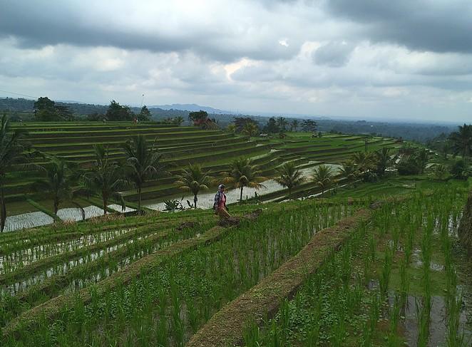 rijstterrassen-jatiluwih