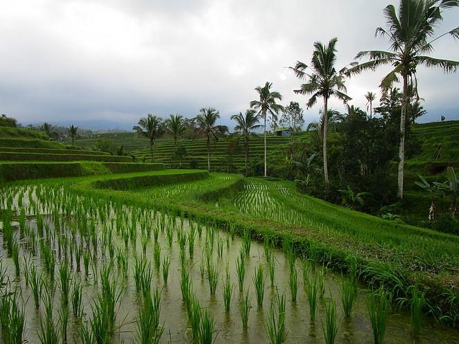 rijstvelden-bali
