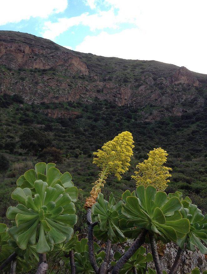 inheemse-planten-gran-canaria