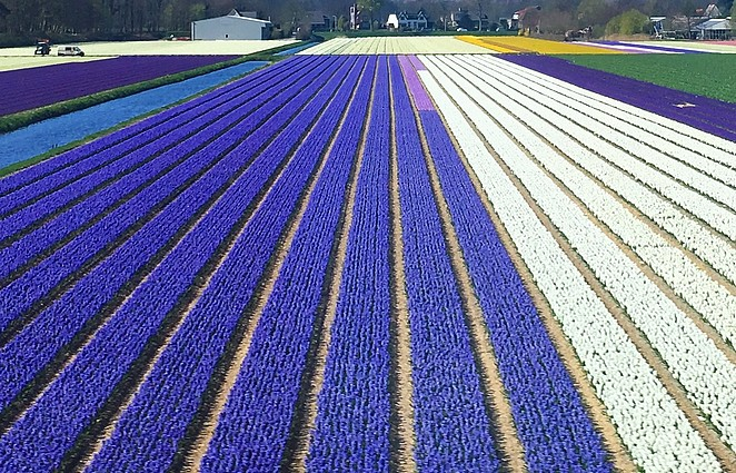 paarse-bollenvelden