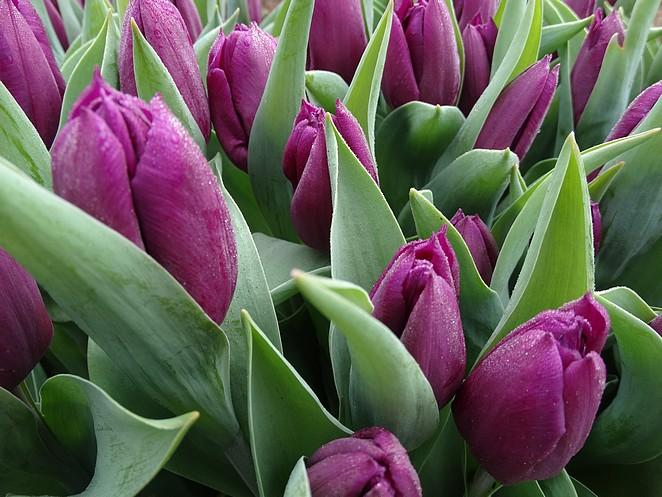 paarse-tulpen