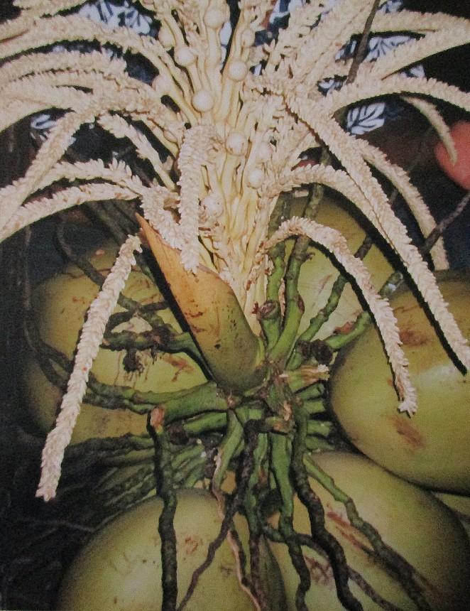 kokosnoten-thailand