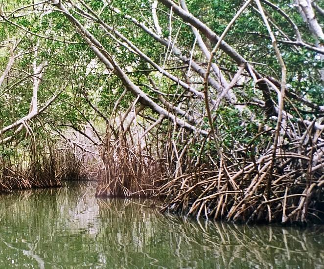 mangrove-mexico